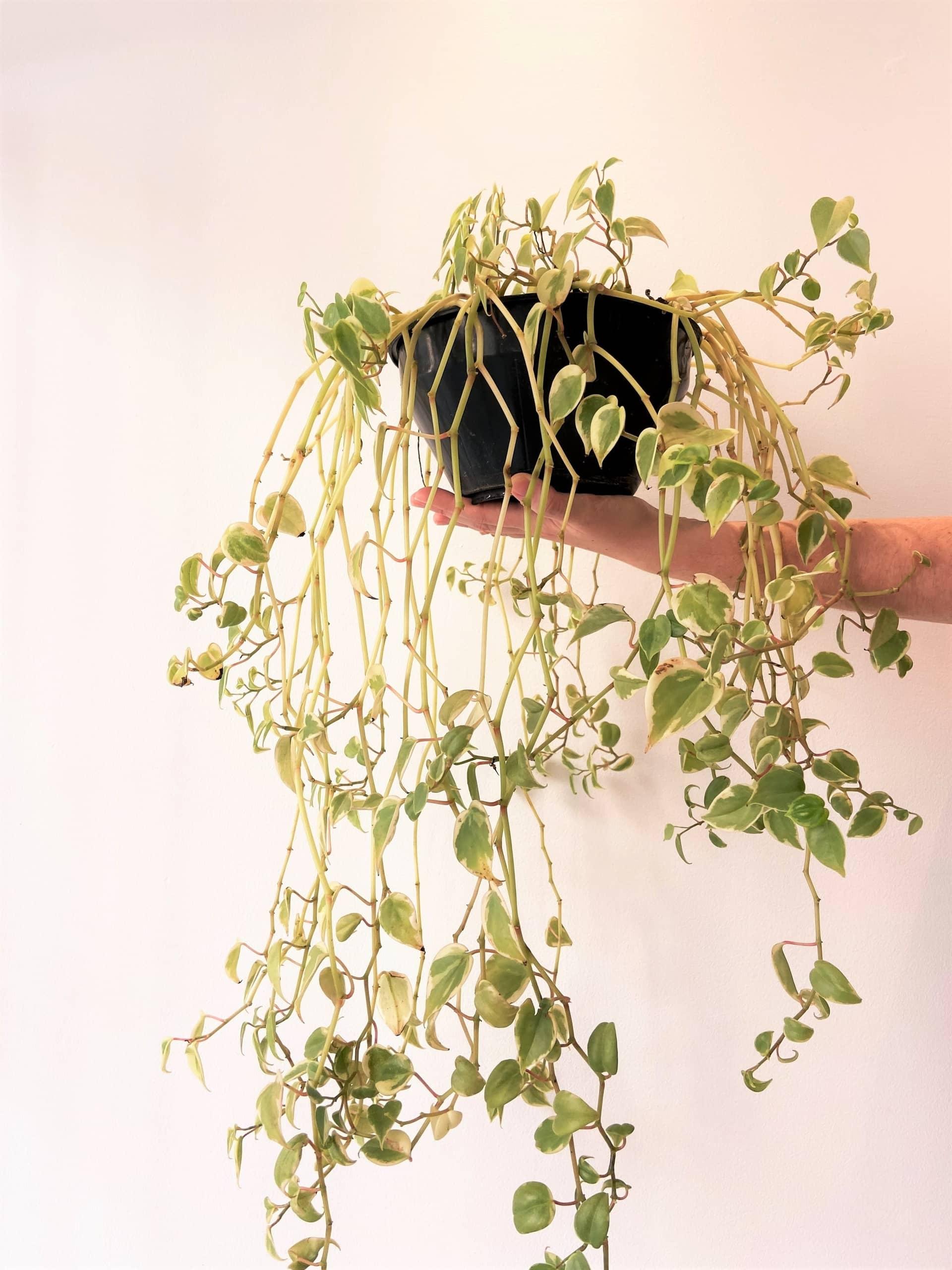 Plantas para ter em casa: Peperômia Filodentro (Peperomia scandens). Foto: Arquiteca Projetos
