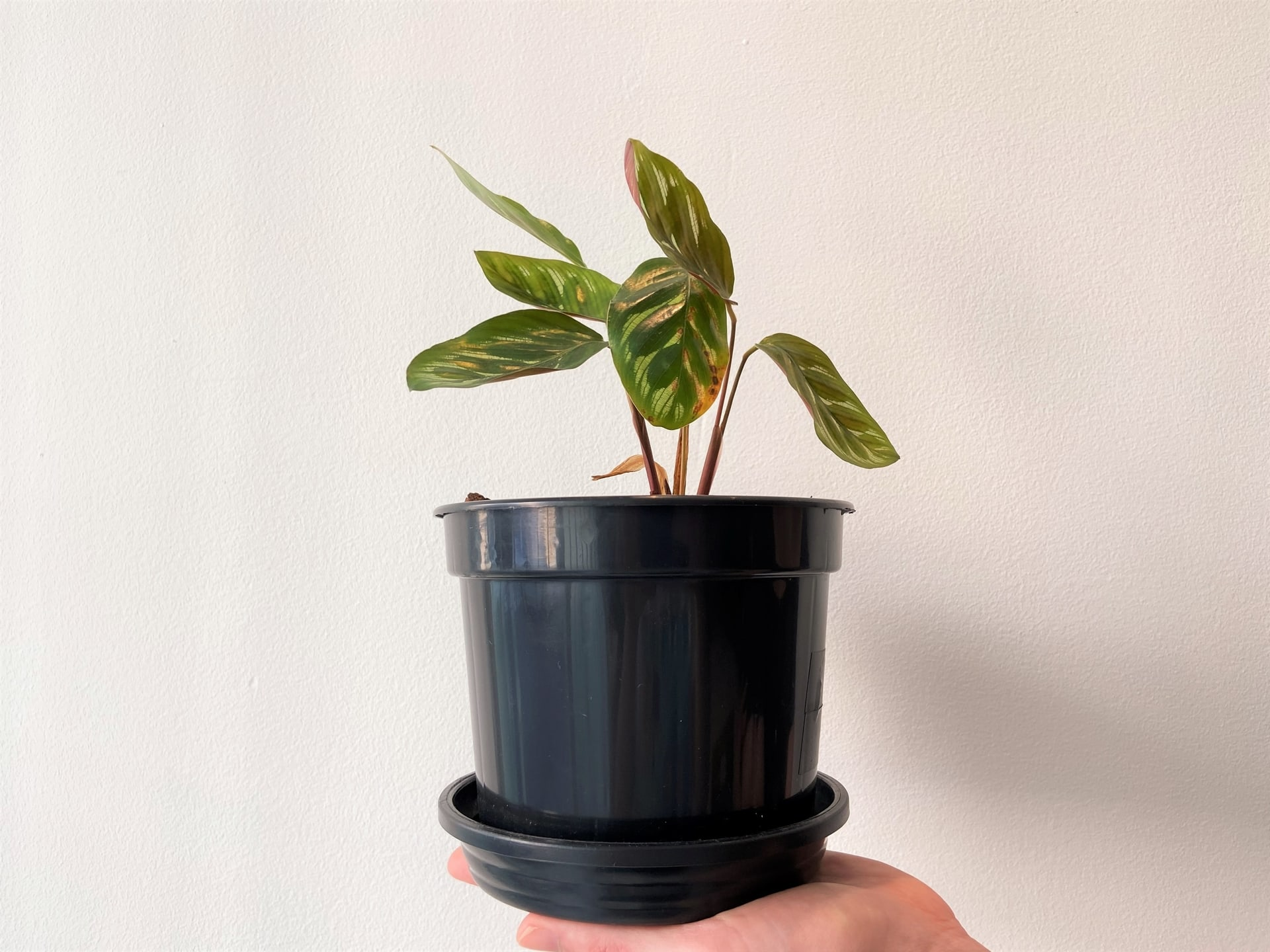 Plantas para ter em casa: Maranta (Ctenanthe oppenheimiana). Foto: Arquiteca Projetos