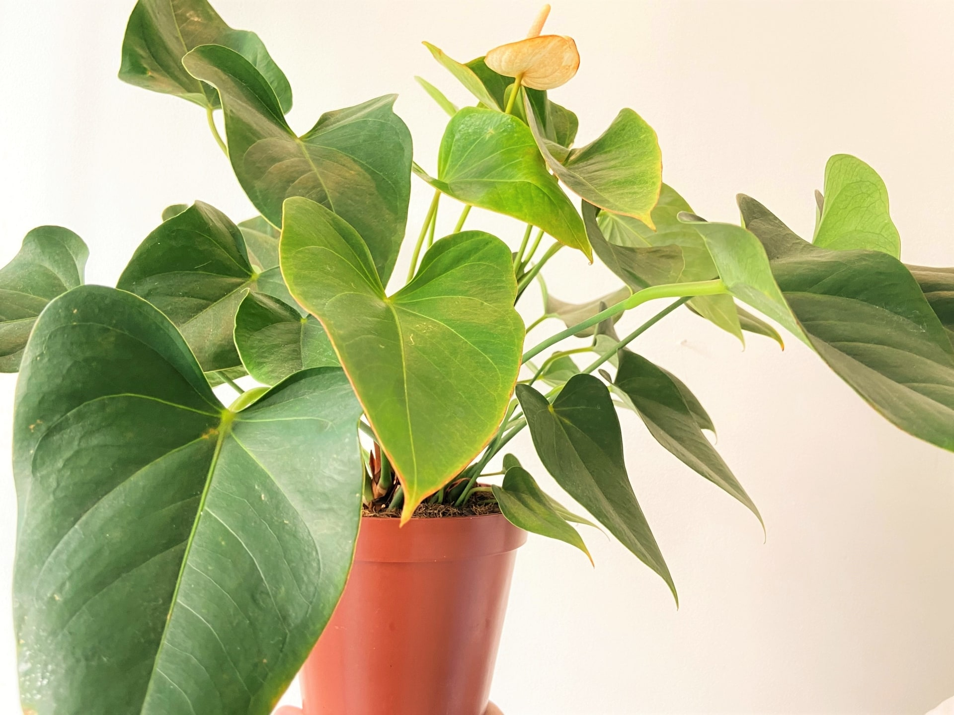 Plantas para ter em casa: Antúrio (Anthurium andraeanum). Foto: Arquiteca Projetos