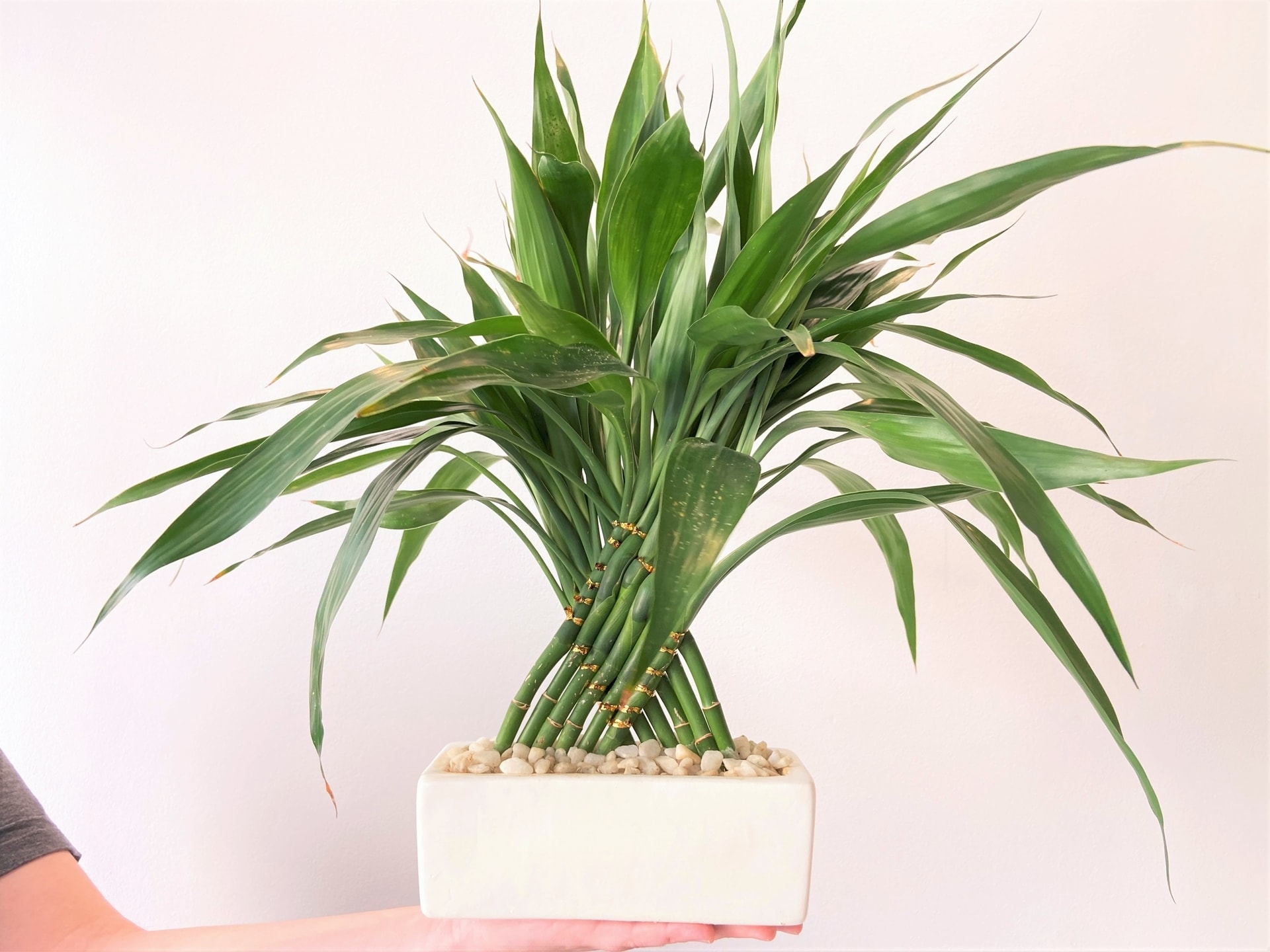 Plantas para ter em casa: Bambu da sorte (Dracaena sanderiana). Foto: Arquiteca Projetos