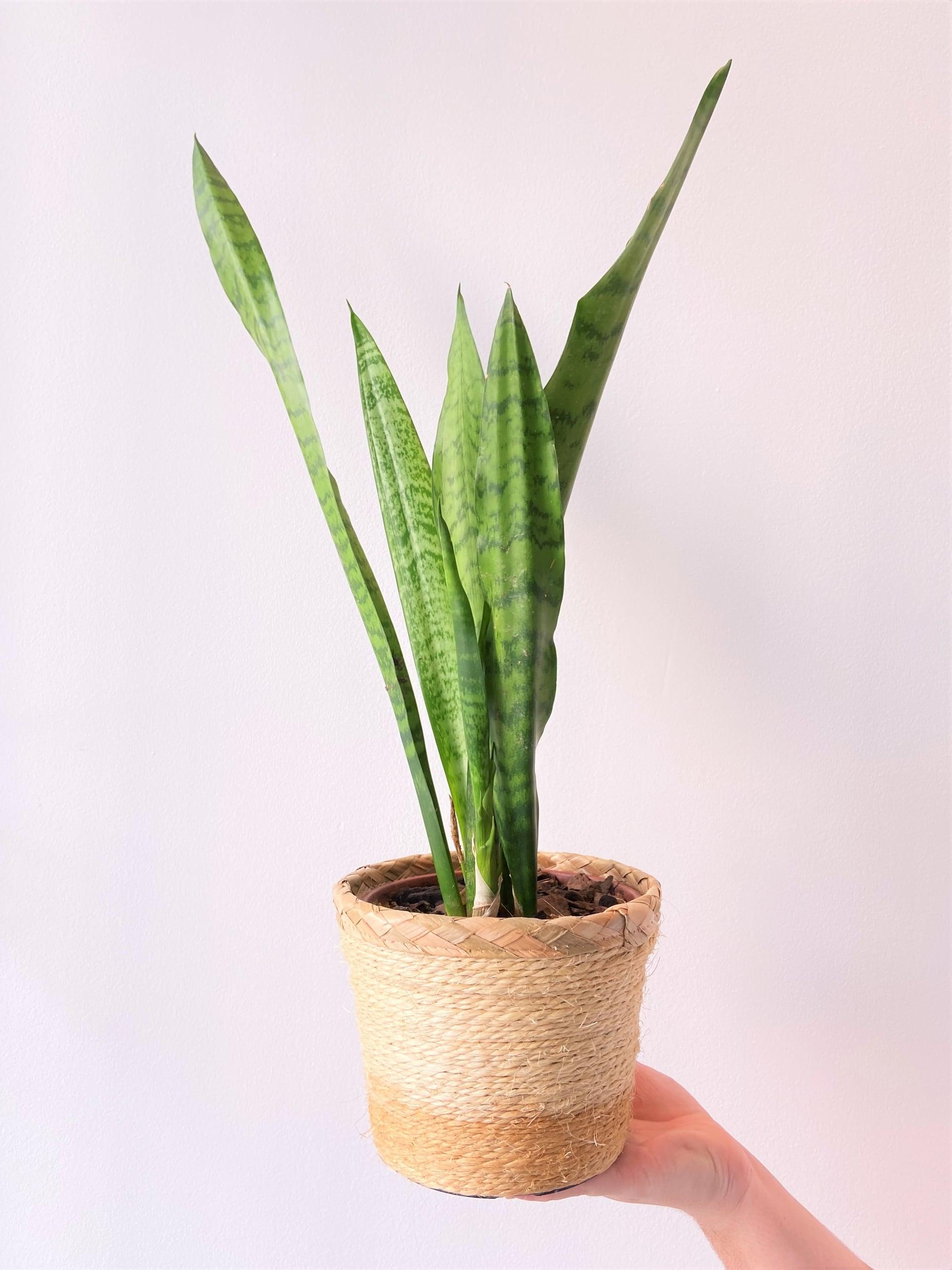 Plantas para ter em casa: Espada de São Jorge (Dracaena trifasciata). Foto: Arquiteca Projetos.