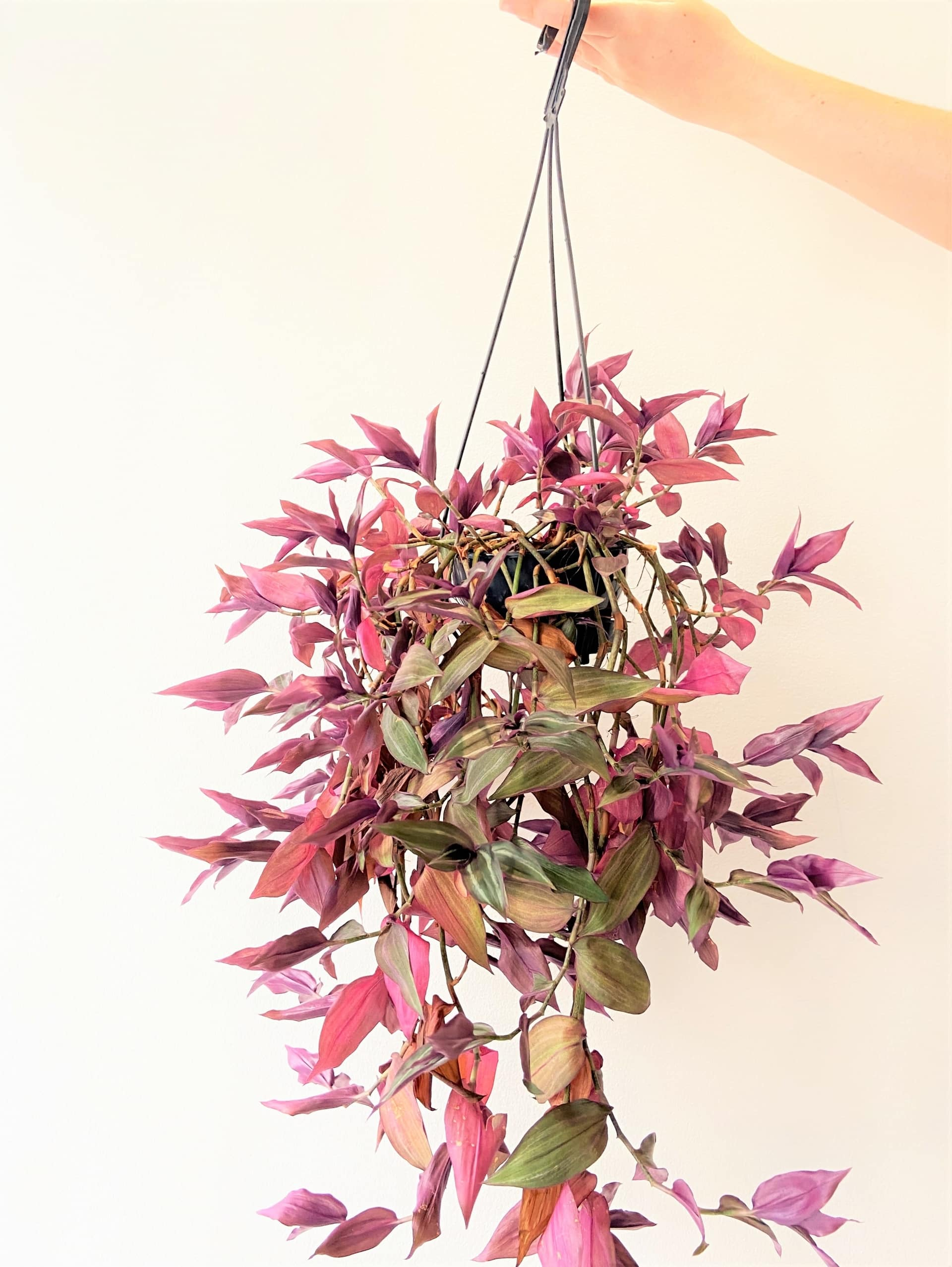 Plantas para ter em casa: Lambari Roxo (Tradescantia zebrina). Foto: Arquiteca Projetos