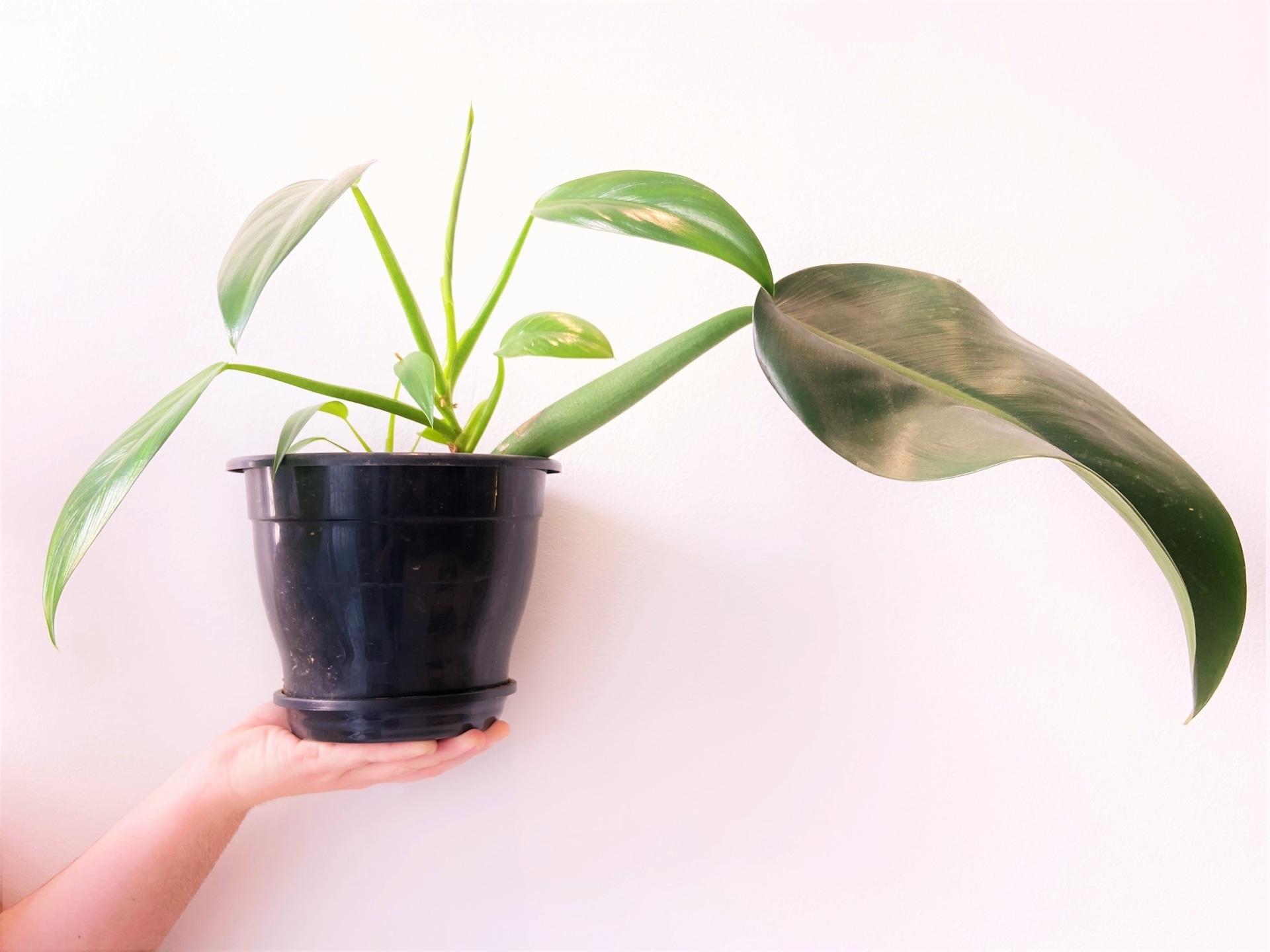 Plantas para ter em casa: Pacová (Philodendron martianum). Foto: Arquiteca Projetos
