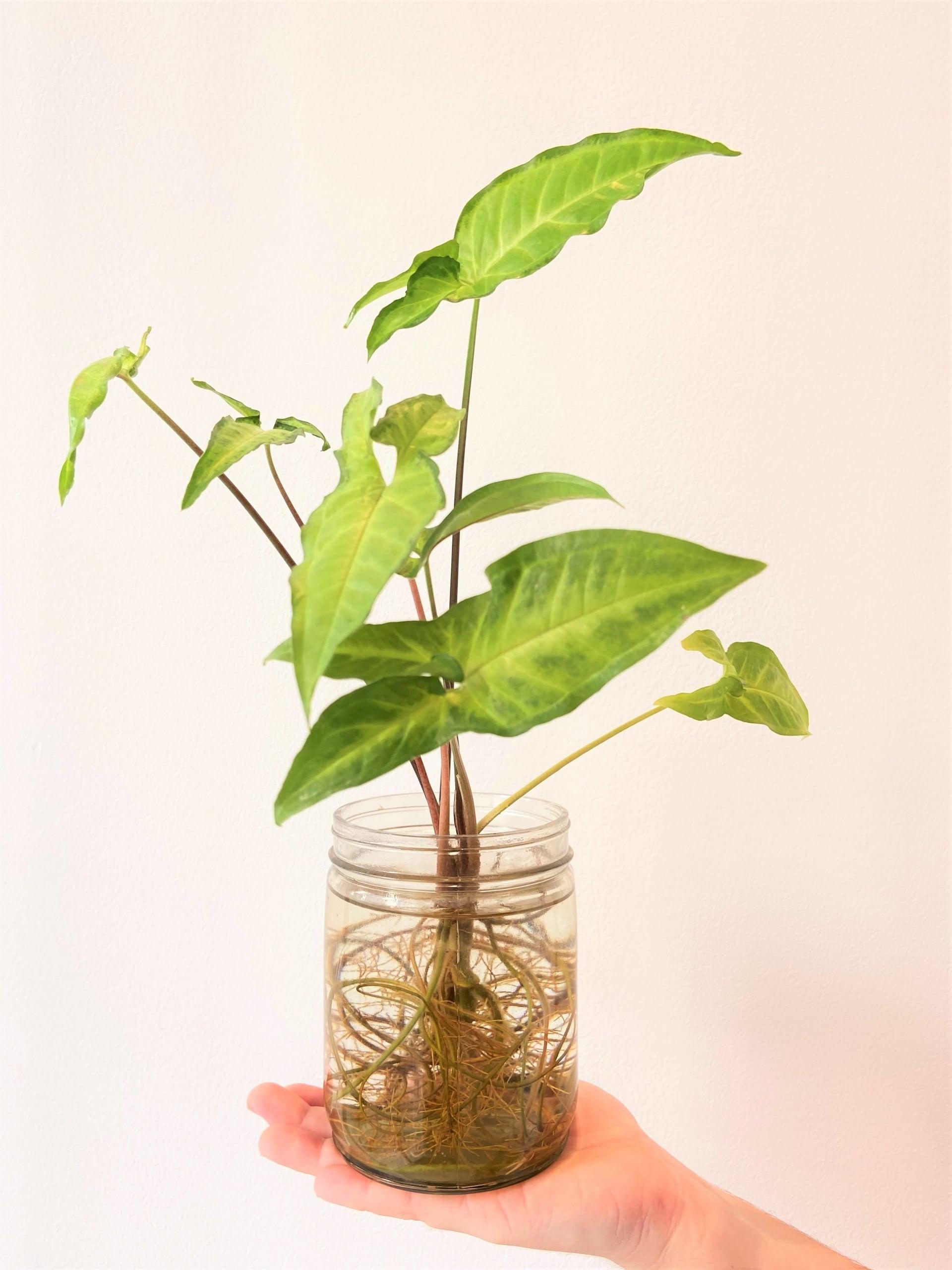 Plantas para ter em casa: Singônio (Syngonium podophyllum). Foto: Arquiteca Projetos